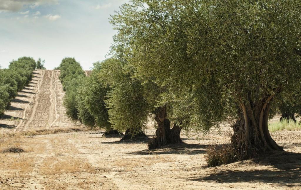 Conoce el olivar